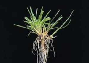 Wiechlina łąkowa (gazonowa) - 2824978117