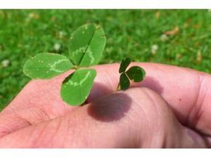 Mikrokoniczyna - koniczyna drobnolistna - 2874529442