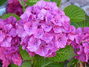 Fototapeta kwiat, hortensje 287 - 2829823663