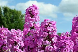 Fototapeta kwiat, hortensje 360 - 2829823736