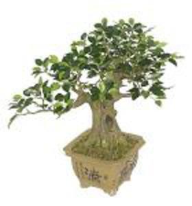 Bonsai, Bonzai 42cm idealny prezent - 2832980344