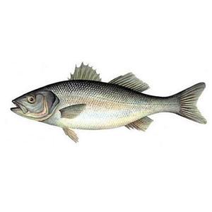 """Okoń morski """"See bas"""", ok. 2.0-3.0 kg/szt. - Francja - 2822712610"""