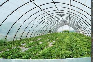 Polska folia tunelowa UV-4 - folia ogrodnicza na 4 sezony Foliarex 12x11m + GRATIS - 11m - 2847418530