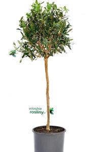 Oliwka Europejska drzewo - 2823566294