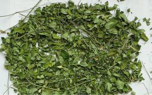 Moringa olejodajna lac. Moringa oleifera